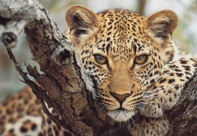 Кто вы, гепард или тигр?