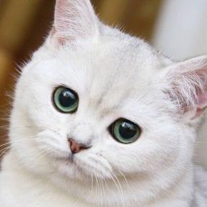 Маленькая глупая белая кошка знает, что такое любовь
