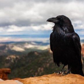 Что символизирует ворон, кроме смерти?