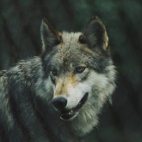 8 признаков того, что вы - настоящий волк среди овец