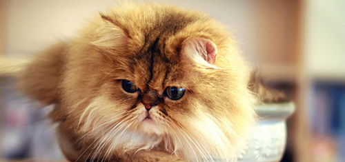 Лучшая порода кошек для каждого знака Зодиака